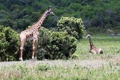 Giraffen in Arusha stockfoto