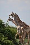 Giraffen auf einer Reihe Stockbild