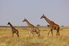 Giraffen auf Masai Mara Lizenzfreies Stockbild