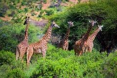 Giraffen auf Savanne. Safari in Tsavo West, Kenia, Afrika Lizenzfreies Stockfoto