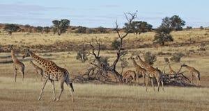 Giraffen in beweging royalty-vrije stock foto's