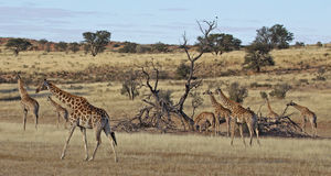 Giraffen in Bewegung Lizenzfreie Stockfotos