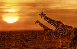 Giraffen bij Afrikaanse Savanne stock afbeeldingen