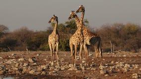 Giraffen bij een waterhole stock videobeelden