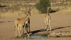 Giraffen bij een waterhole stock video