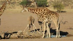 Giraffen bij een waterhole - de woestijn van Kalahari stock footage