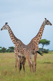 Giraffen bij het nationale park van Serengeti, Tanzania, Afrika Royalty-vrije Stock Foto's