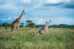 Giraffen bij het nationale park van Serengeti, Tanzania, Afrika Royalty-vrije Stock Afbeelding