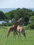Giraffen bij strijd in Oeganda Royalty-vrije Stock Fotografie