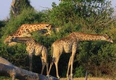 Giraffen in Botswana Royalty-vrije Stock Afbeeldingen