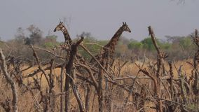 Giraffen in de Afrikaanse savanne stock footage