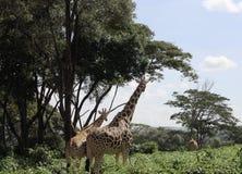 Giraffen in de reserve van Nairobi Stock Foto's