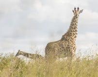 Giraffen in de wildernis worden bevlekt die royalty-vrije stock foto's