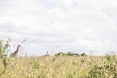 Giraffen in de wildernis worden bevlekt die royalty-vrije stock afbeeldingen