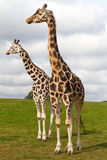 Giraffen in den wild lebenden Tieren Lizenzfreies Stockfoto