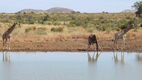 Giraffen die aan het water lopen stock videobeelden