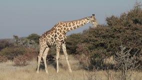 Giraffen, die auf einen Baum einziehen stock video footage
