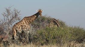 Giraffen, die auf einen Baum einziehen stock video