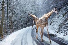 Giraffen, die auf Snowed Straße im Winter gehen Lizenzfreie Stockbilder