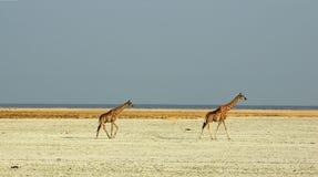 Giraffen die door saltpan lopen Stock Foto