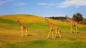 Giraffen die in een safaripark weiden royalty-vrije stock foto's