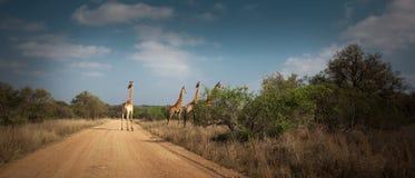 4 Giraffen, die einen Schotterweg kreuzen lizenzfreies stockfoto