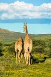 Giraffen die gerade zwei von uns Stockfoto