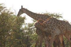 Giraffen die samen spelen Stock Afbeeldingen