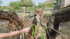 Giraffen, die von den Händen von Touristen essen, die sie mit grünen Blättern einziehen stock footage
