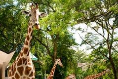 Giraffen in Dierentuin Royalty-vrije Stock Afbeelding