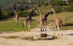 Giraffen in dierentuin Praag Royalty-vrije Stock Afbeelding