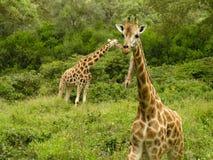 Giraffen door de weiden, Kenia stock foto