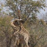 Giraffen, drie van hen, met verwarde halzen royalty-vrije stock afbeelding