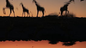 Giraffen drinkwater in waterhole stock videobeelden