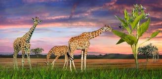 Giraffen in een landschap stock foto