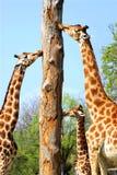 Giraffen en boomstam stock fotografie