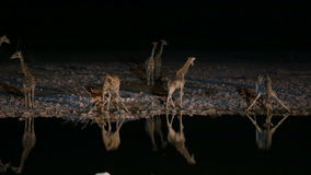 Giraffen en hyena in waterhole stock footage