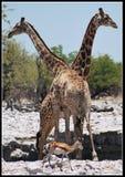 Giraffen en Springbok bij waterhole Royalty-vrije Stock Foto