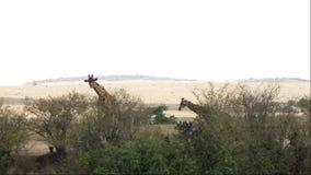 Giraffen-Erwachsener mit dem jungen Gehen in Savanne stock video
