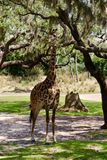 Giraffen-Essen Stockfoto
