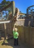 Giraffen-Fütterungs-Zeit stockfotos