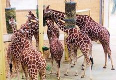 Giraffen-Fütterungs-Zeit im Zoo stockfoto
