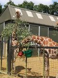 Giraffen-F?tterungs-Zeit lizenzfreies stockfoto