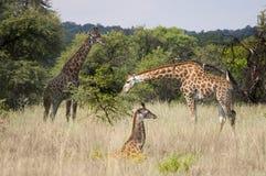 Giraffen-Familie Stockbilder