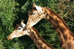 Giraffen - Frankreich Stockfotografie