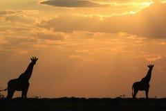 Giraffen-Frieden - afrikanischer Hintergrund der wild lebenden Tiere - Sonnenuntergang-Schönheit und Ruhe Stockbild