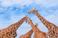 Giraffen gegen den blauen Himmel Stockbilder