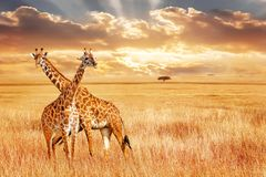 Giraffen gegen Sonnenuntergang in der afrikanischen Savanne Wilde Beschaffenheit von Afrika lizenzfreie stockfotos