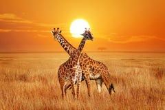 Giraffen gegen Sonnenuntergang im Nationalpark Serengeti afrika tanzania Wilde Beschaffenheit von Afrika stockfotografie