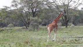Giraffen gehen auf Savanne kenia stock footage